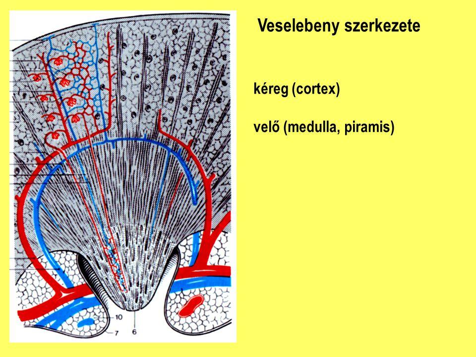 Veselebeny szerkezete kéreg (cortex) velő (medulla, piramis)