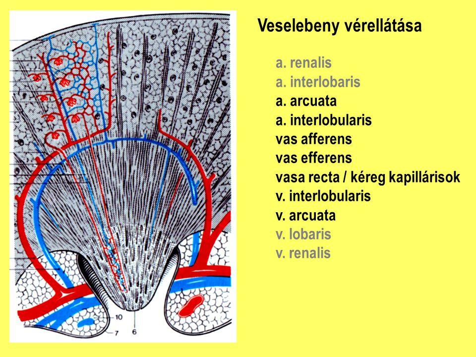 Veselebeny vérellátása a. renalis a. interlobaris a. arcuata a. interlobularis vas afferens vas efferens vasa recta / kéreg kapillárisok v. interlobul