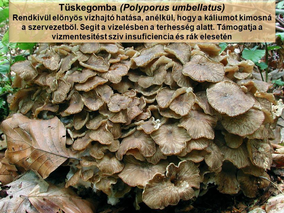 GAMU, KrefeldProf. Dr. Dr. h.c. Jan I. Lelley, Krefeld Tüskegomba (Polyporus umbellatus) Rendkivül elönyös vizhajtó hatása, anélkül, hogy a káliumot k