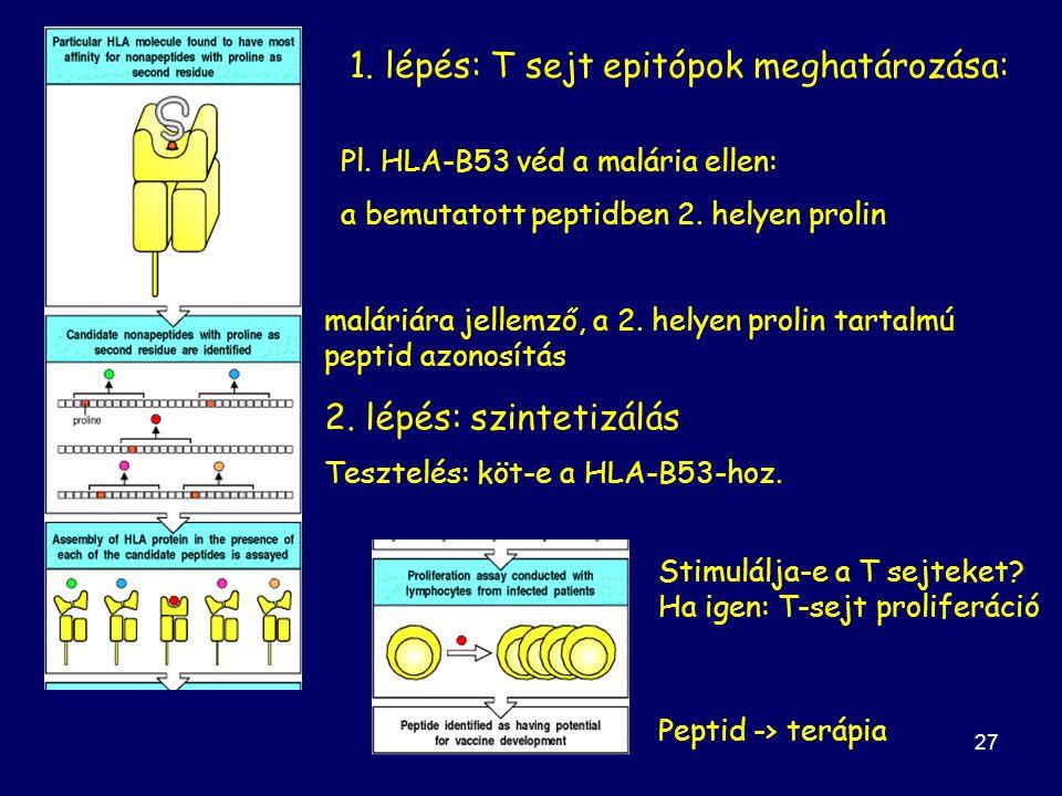 27 1.lépés: T sejt epitópok meghatározása: Pl.