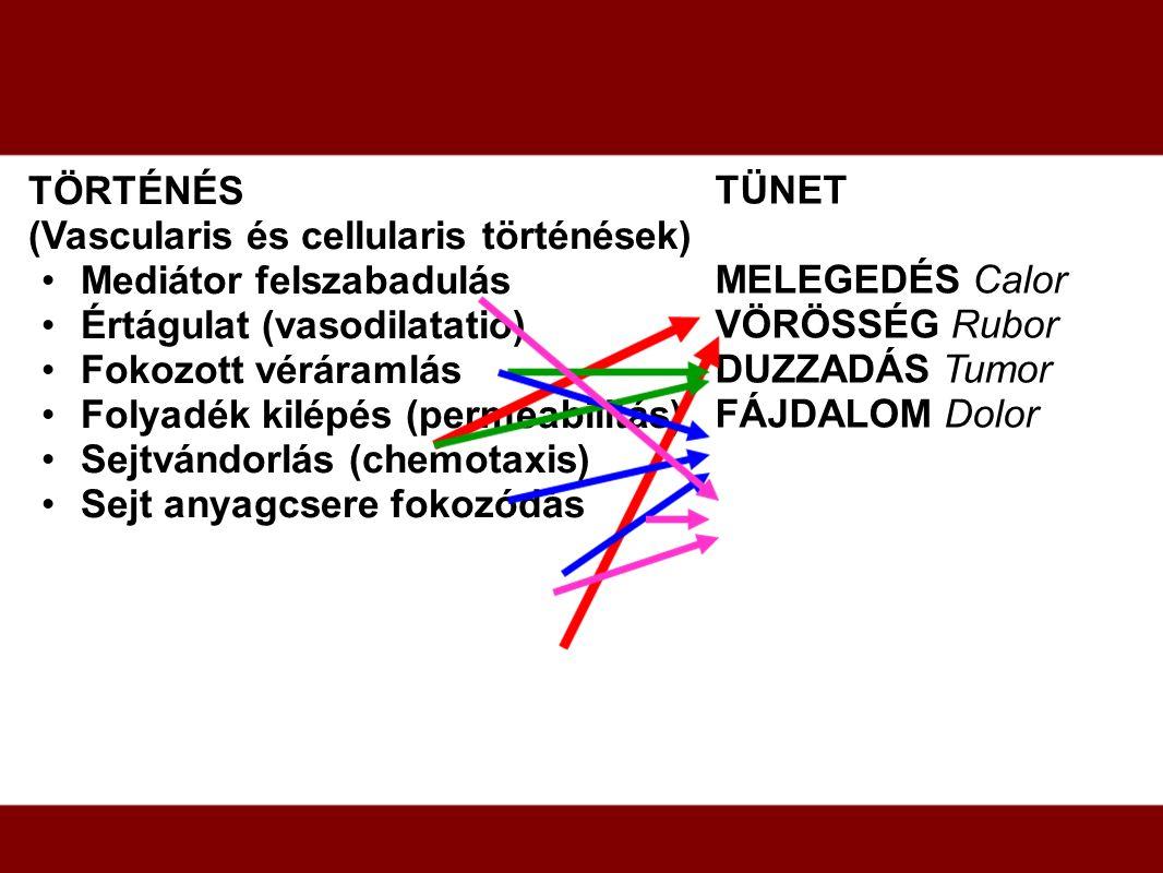 TÖRTÉNÉS (Vascularis és cellularis történések) Mediátor felszabadulás Értágulat (vasodilatatio) Fokozott véráramlás Folyadék kilépés (permeabilitás) S