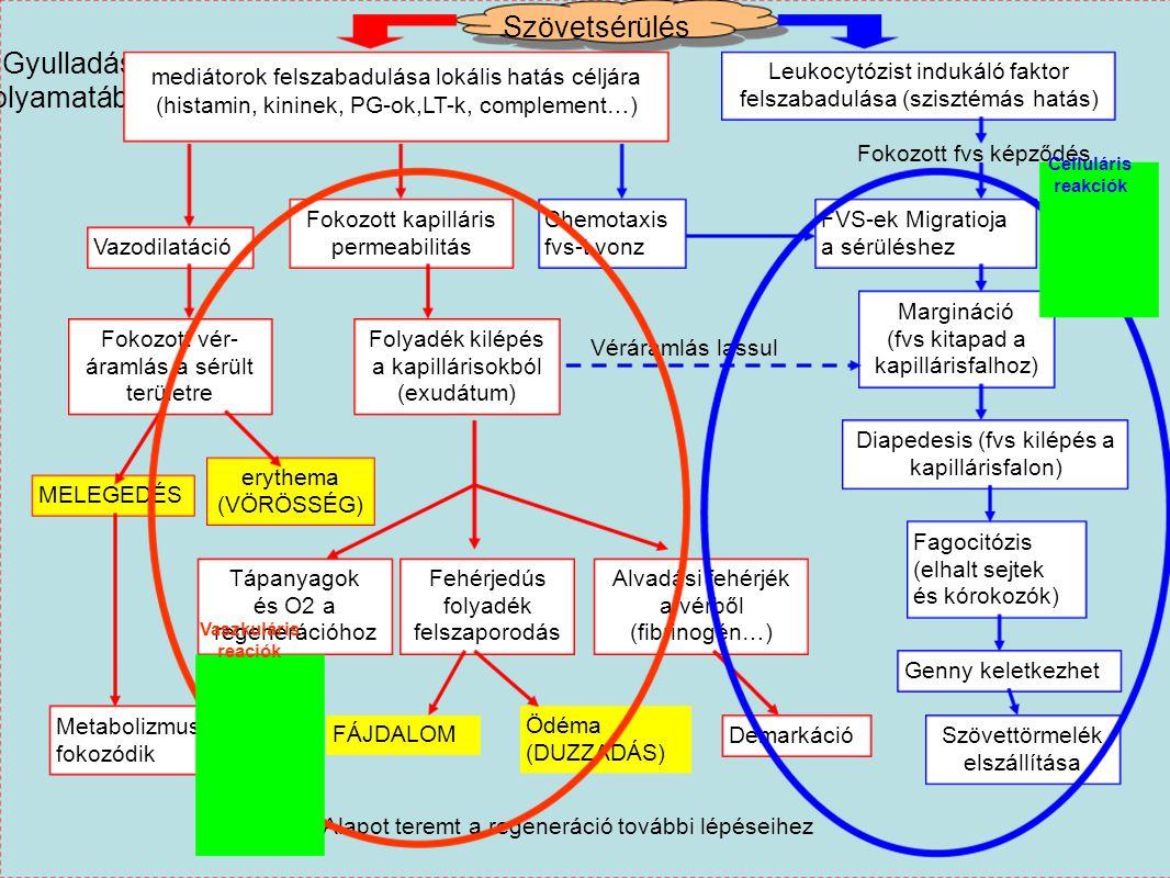 Szövetsérülés Gyulladás folyamatábra mediátorok felszabadulása lokális hatás céljára (histamin, kininek, PG-ok,LT-k, complement…) Leukocytózist induká