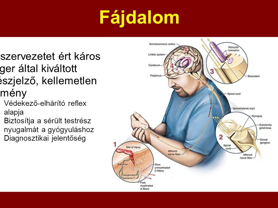 Fájdalom a szervezetet ért káros inger által kiváltott vészjelző, kellemetlen élmény Védekező-elhárító reflex alapja Biztosítja a sérült testrész nyug
