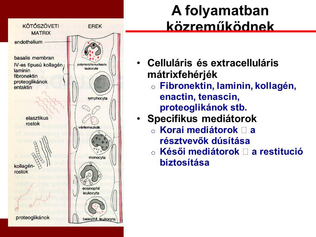 A folyamatban közreműködnek Celluláris és extracelluláris mátrixfehérjék o Fibronektin, laminin, kollagén, enactin, tenascin, proteoglikánok stb. Spec
