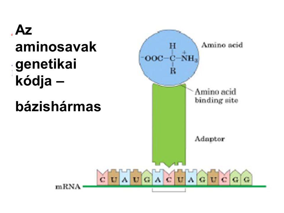 Az aminosavak genetikai kódja – bázishármas