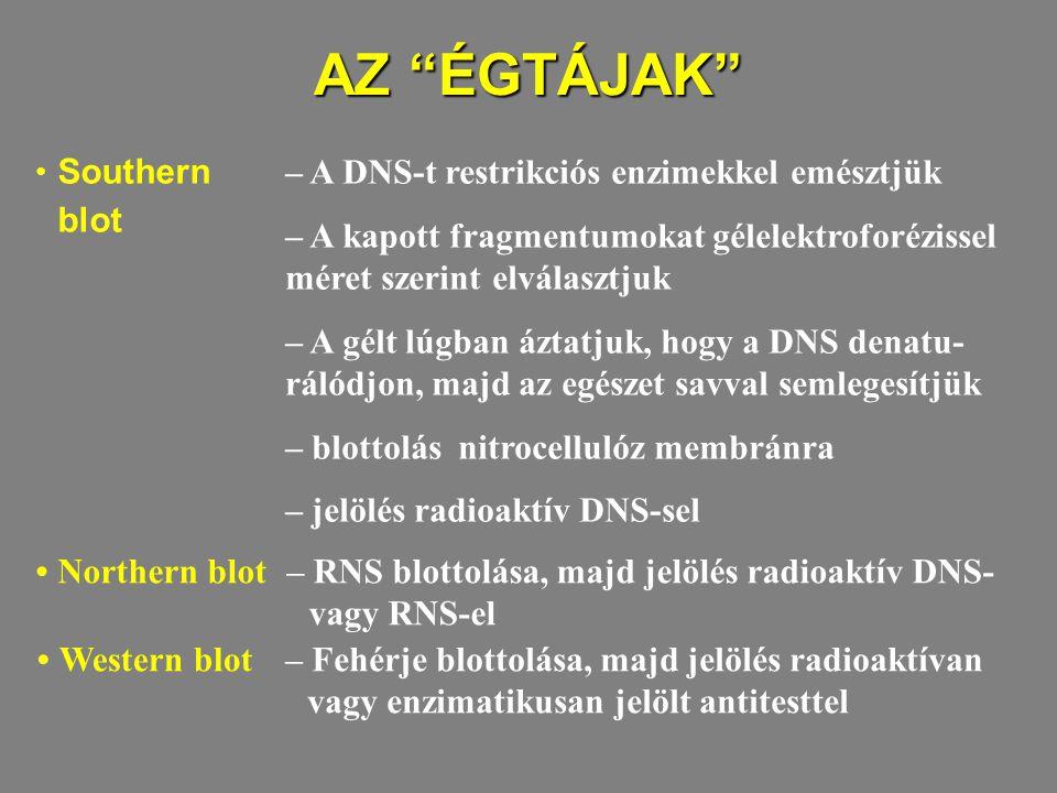 AZ ÉGTÁJAK Southern blot Northern blot Western blot – A DNS-t restrikciós enzimekkel emésztjük – A kapott fragmentumokat gélelektroforézissel méret szerint elválasztjuk – A gélt lúgban áztatjuk, hogy a DNS denatu- rálódjon, majd az egészet savval semlegesítjük – blottolás nitrocellulóz membránra – jelölés radioaktív DNS-sel – RNS blottolása, majd jelölés radioaktív DNS- vagy RNS-el – Fehérje blottolása, majd jelölés radioaktívan vagy enzimatikusan jelölt antitesttel