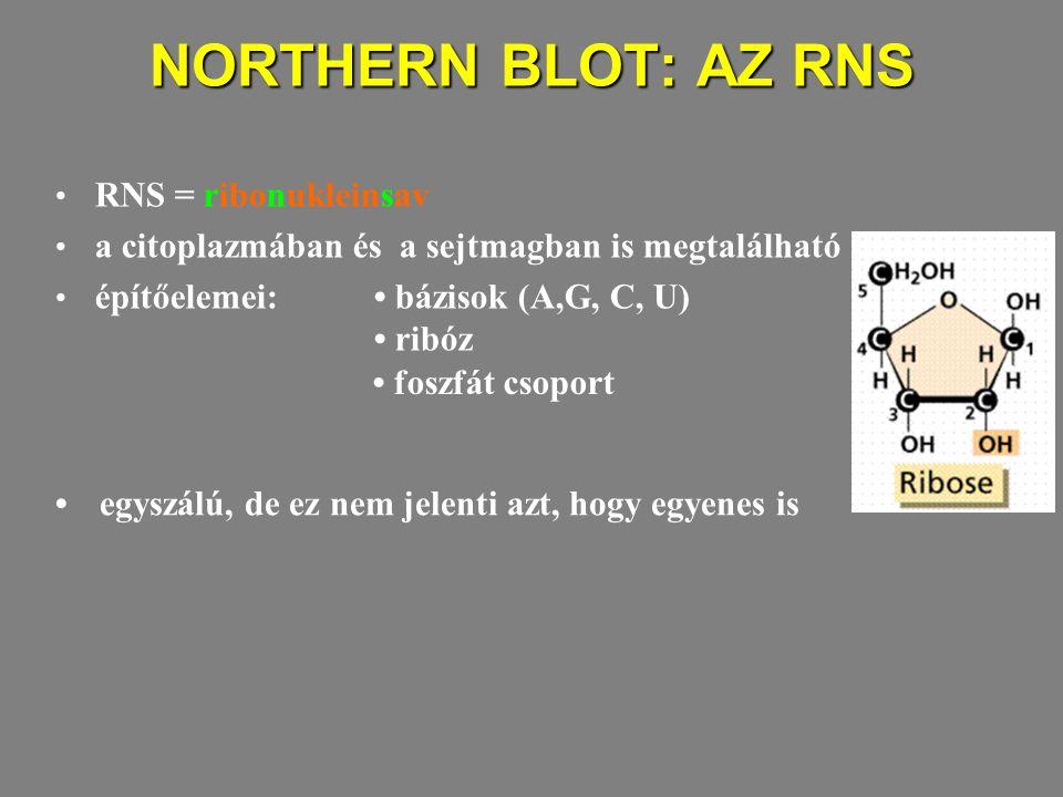 NORTHERN BLOT: AZ RNS RNS = ribonukleinsav a citoplazmában és a sejtmagban is megtalálható építőelemei: bázisok (A,G, C, U) ribóz foszfát csoport egyszálú, de ez nem jelenti azt, hogy egyenes is