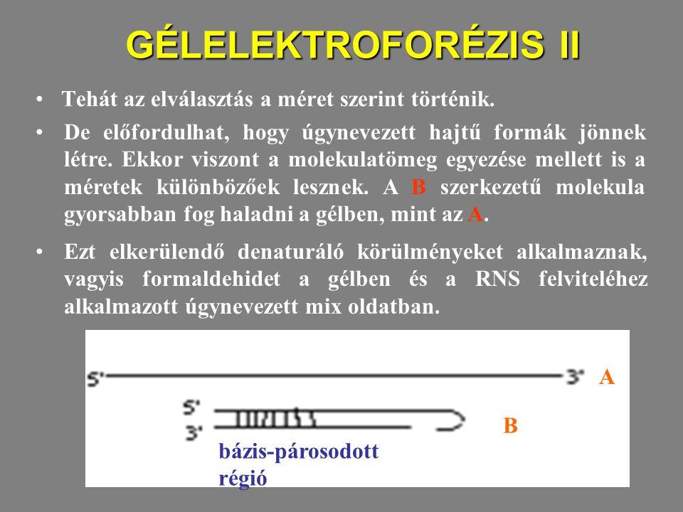 GÉLELEKTROFORÉZIS II Tehát az elválasztás a méret szerint történik. A B bázis-párosodott régió De előfordulhat, hogy úgynevezett hajtű formák jönnek l