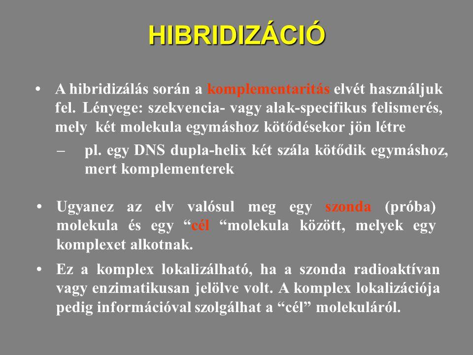 HIBRIDIZÁCIÓ A hibridizálás során a komplementaritás elvét használjuk fel. Lényege: szekvencia- vagy alak-specifikus felismerés, mely két molekula egy