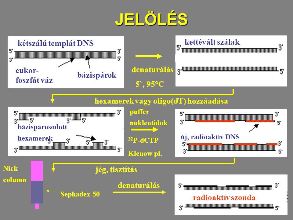 JELÖLÉS kétszálú templát DNS cukor- foszfát váz bázispárok denaturálás 5`, 95°C kettévált szálak hexamerek vagy oligo(dT) hozzáadása bázispárosodott h