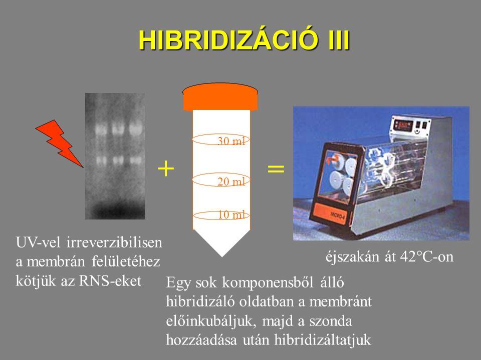 HIBRIDIZÁCIÓ III UV-vel irreverzibilisen a membrán felületéhez kötjük az RNS-eket + = éjszakán át 42°C-on Egy sok komponensből álló hibridizáló oldatban a membránt előinkubáljuk, majd a szonda hozzáadása után hibridizáltatjuk 10 ml 20 ml 30 ml