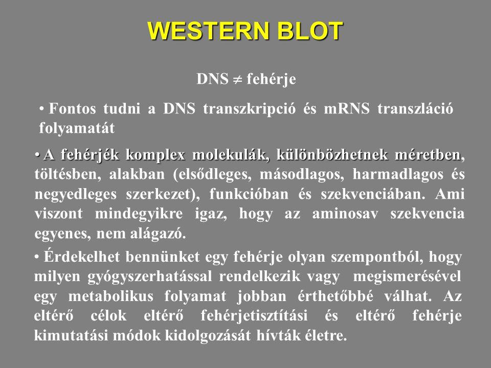 WESTERN BLOT A fehérjék komplex molekulák, különbözhetnek méretben A fehérjék komplex molekulák, különbözhetnek méretben, töltésben, alakban (elsődleg