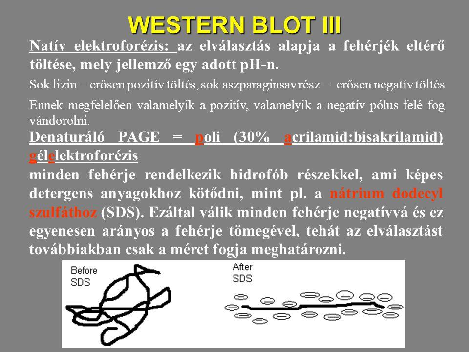 WESTERN BLOT III Natív elektroforézis: az elválasztás alapja a fehérjék eltérő töltése, mely jellemző egy adott pH-n. Sok lizin = erősen pozitív tölté