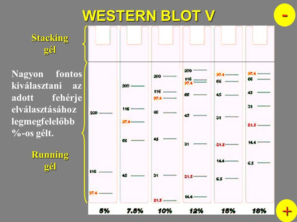 WESTERN BLOT V Nagyon fontos kiválasztani az adott fehérje elválasztásához legmegfelelőbb %-os gélt. Stacking gél Running gél - +
