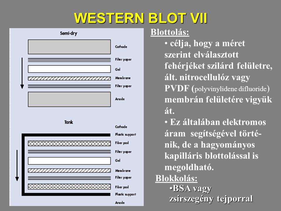 WESTERN BLOT VII Blottolás: célja, hogy a méret szerint elválasztott fehérjéket szilárd felületre, ált. nitrocellulóz vagy PVDF ( polyvinylidene diflu