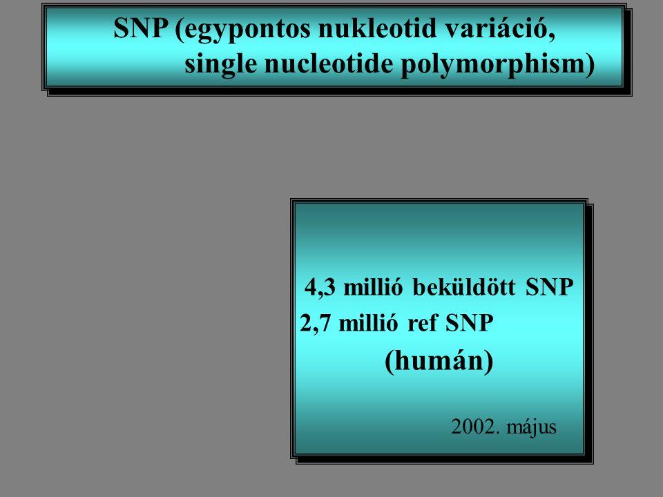 SNP (egypontos nukleotid variáció, single nucleotide polymorphism) SNP (egypontos nukleotid variáció, single nucleotide polymorphism) 4,3 millió beküldött SNP 2,7 millió ref SNP (humán) 4,3 millió beküldött SNP 2,7 millió ref SNP (humán) 2002.