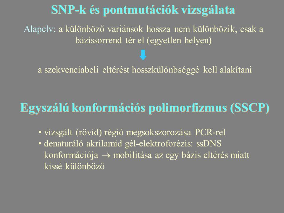 SNP-k és pontmutációk vizsgálata Alapelv: a különböző variánsok hossza nem különbözik, csak a bázissorrend tér el (egyetlen helyen) a szekvenciabeli eltérést hosszkülönbséggé kell alakítani Egyszálú konformációs polimorfizmus (SSCP) vizsgált (rövid) régió megsokszorozása PCR-rel denaturáló akrilamid gél-elektroforézis: ssDNS konformációja  mobilitása az egy bázis eltérés miatt kissé különböző