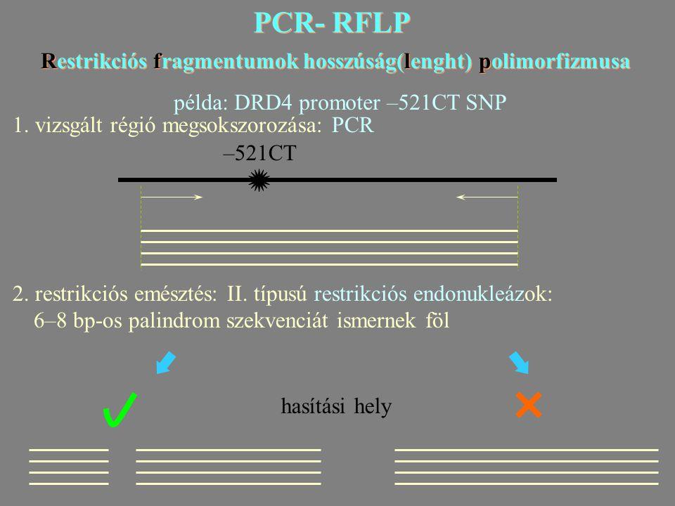 PCR- RFLP Restrikciós fragmentumok hosszúság(lenght) polimorfizmusa PCR- RFLP Restrikciós fragmentumok hosszúság(lenght) polimorfizmusa példa: DRD4 promoter –521CT SNP 1.
