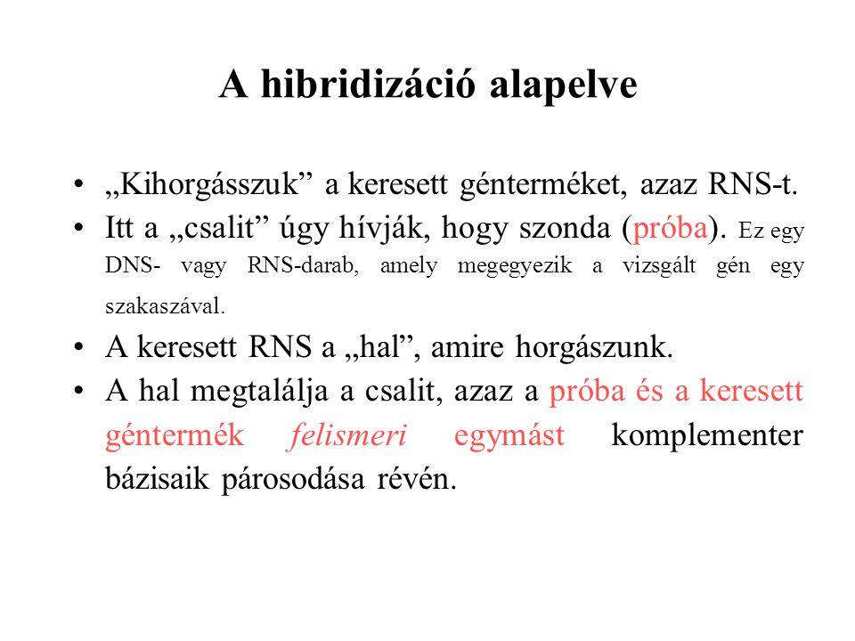 """A hibridizáció alapelve """"Kihorgásszuk"""" a keresett génterméket, azaz RNS-t. Itt a """"csalit"""" úgy hívják, hogy szonda (próba). Ez egy DNS- vagy RNS-darab,"""