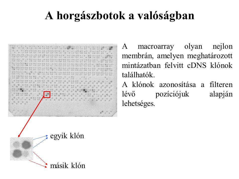 A horgászbotok a valóságban A macroarray olyan nejlon membrán, amelyen meghatározott mintázatban felvitt cDNS klónok találhatók. A klónok azonosítása