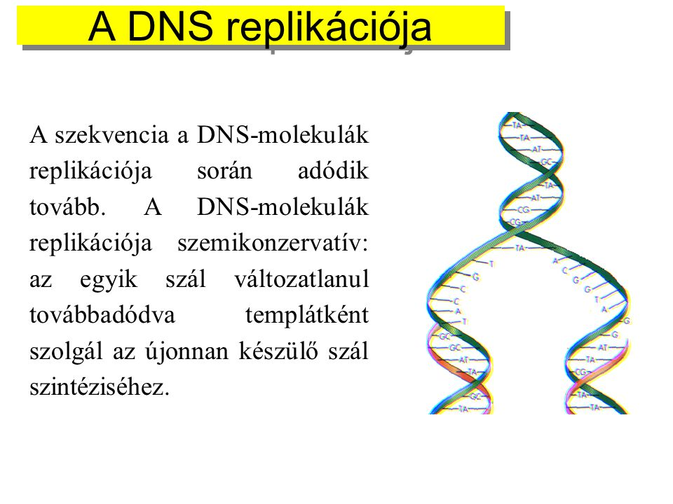 A szekvencia a DNS-molekulák replikációja során adódik tovább. A DNS-molekulák replikációja szemikonzervatív: az egyik szál változatlanul továbbadódva