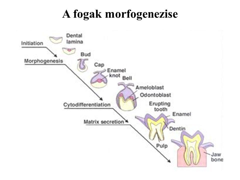 A fogak morfogenezise