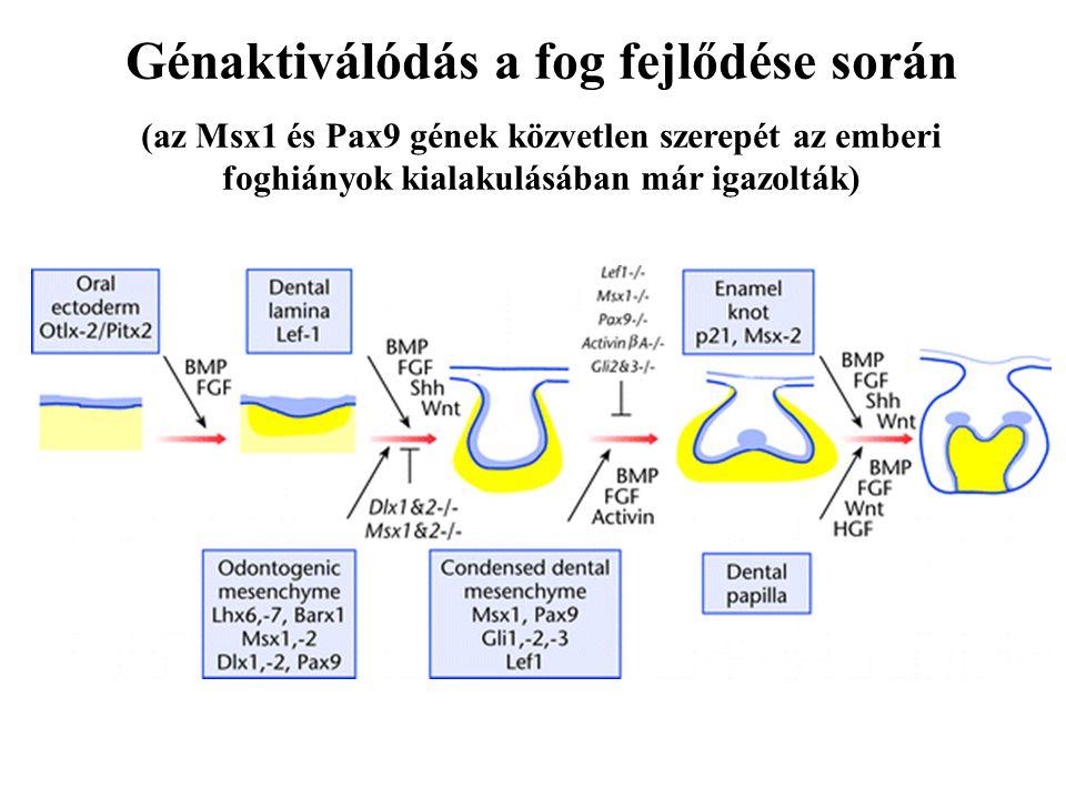 Génaktiválódás a fog fejlődése során (az Msx1 és Pax9 gének közvetlen szerepét az emberi foghiányok kialakulásában már igazolták)