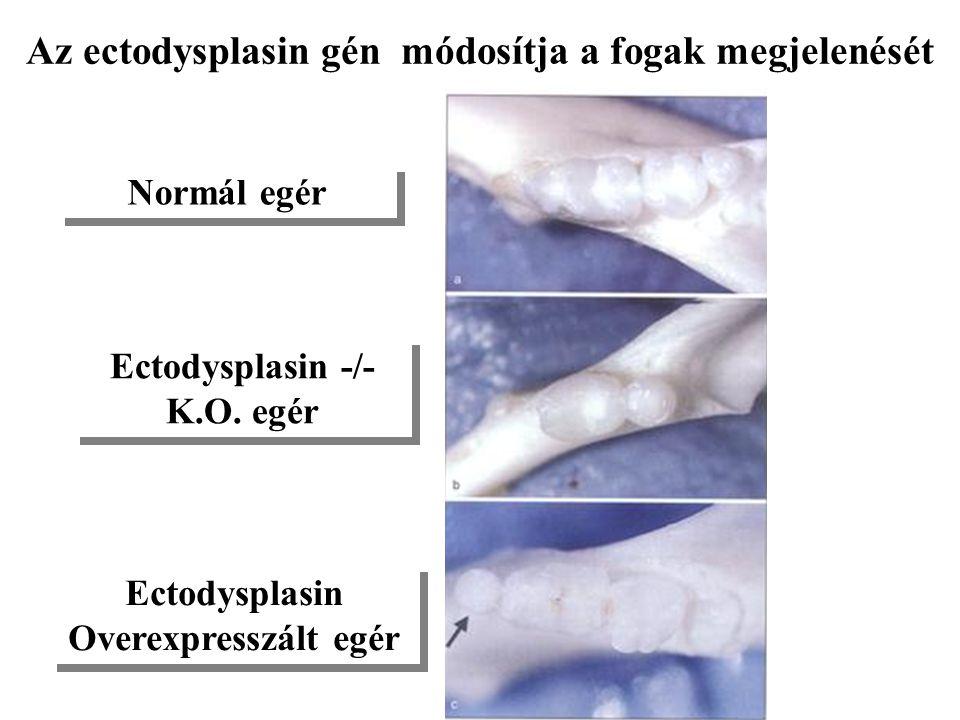 Az ectodysplasin gén módosítja a fogak megjelenését Normál egér Ectodysplasin -/- K.O. egér Ectodysplasin Overexpresszált egér