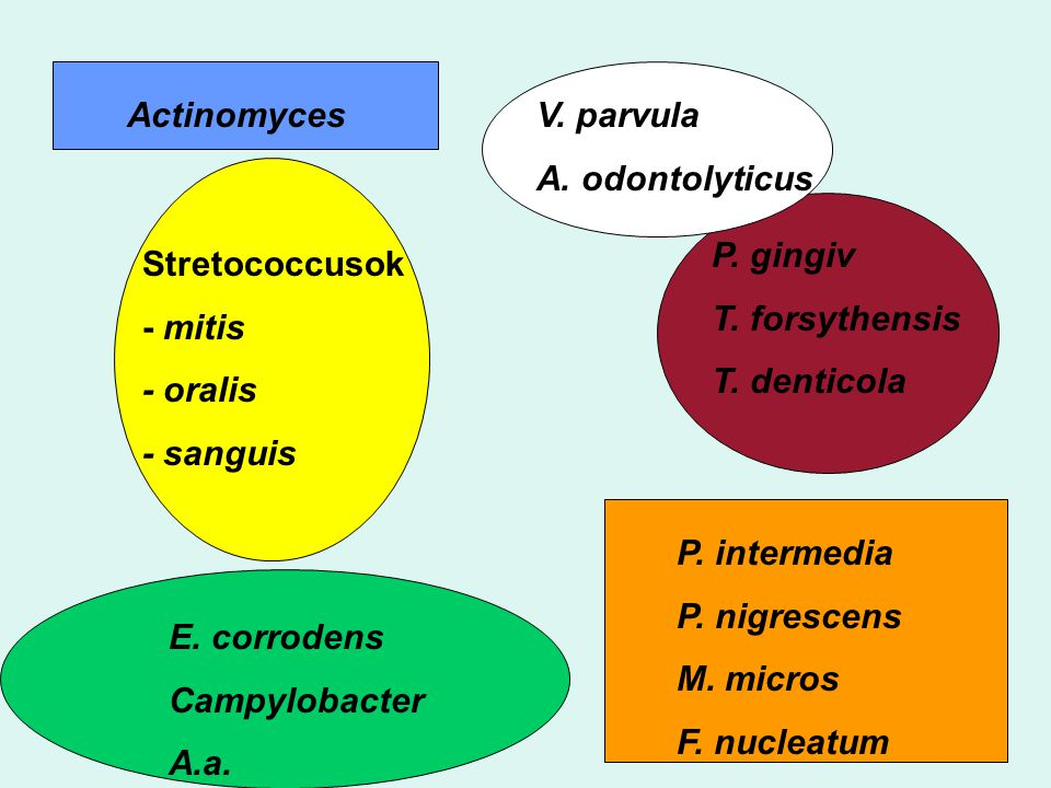 ActinomycesV. parvula A. odontolyticus Stretococcusok - mitis - oralis - sanguis P. gingiv T. forsythensis T. denticola E. corrodens Campylobacter A.a