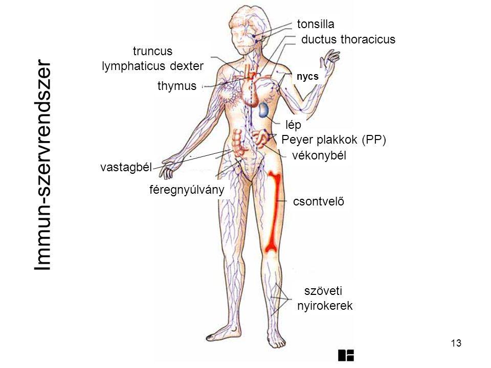 13 Immun-szervrendszer szöveti nyirokerek csontvelő vékonybél Peyer plakkok (PP) lép vastagbél féregnyúlvány thymus ductus thoracicus tonsilla nycs tr