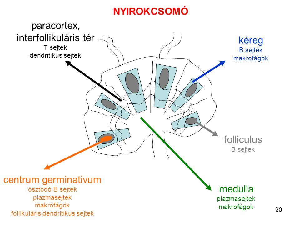 20 centrum germinativum osztódó B sejtek plazmasejtek makrofágok follikuláris dendritikus sejtek folliculus B sejtek kéreg B sejtek makrofágok paracor