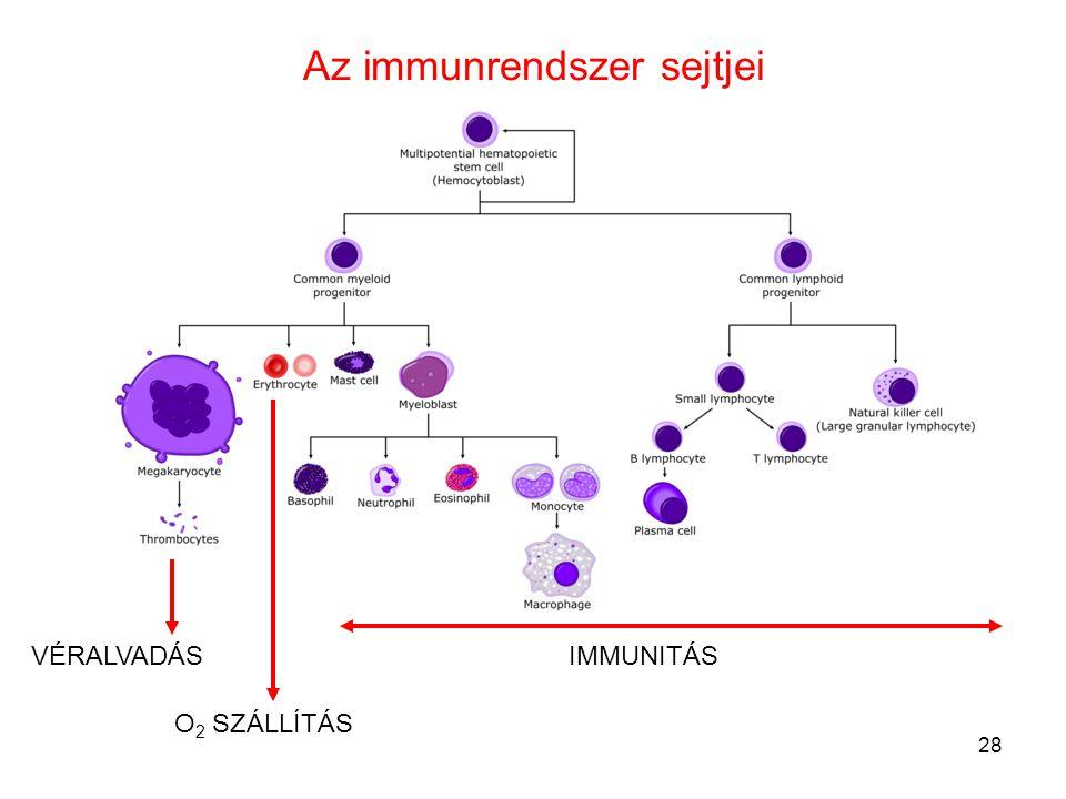 28 Az immunrendszer sejtjei VÉRALVADÁS O 2 SZÁLLÍTÁS IMMUNITÁS
