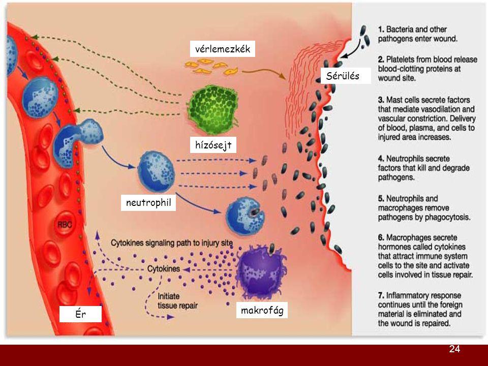 24 vérlemezkék hízósejt Ér neutrophil makrofág Sérülés