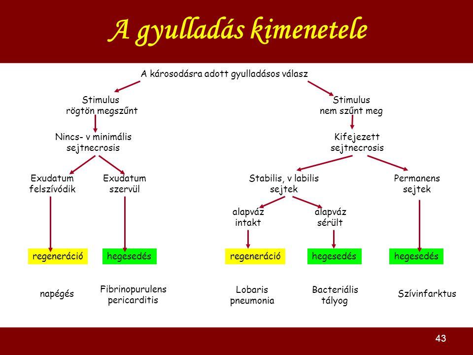 43 A gyulladás kimenetele A károsodásra adott gyulladásos válasz Stimulus rögtön megszűnt Stimulus nem szűnt meg Nincs- v minimális sejtnecrosis Kifejezett sejtnecrosis Exudatum felszívódik Exudatum szervül regenerációhegesedésregenerációhegesedés Stabilis, v labilis sejtek Permanens sejtek alapváz intakt alapváz sérült napégés Fibrinopurulens pericarditis Szívinfarktus Lobaris pneumonia Bacteriális tályog