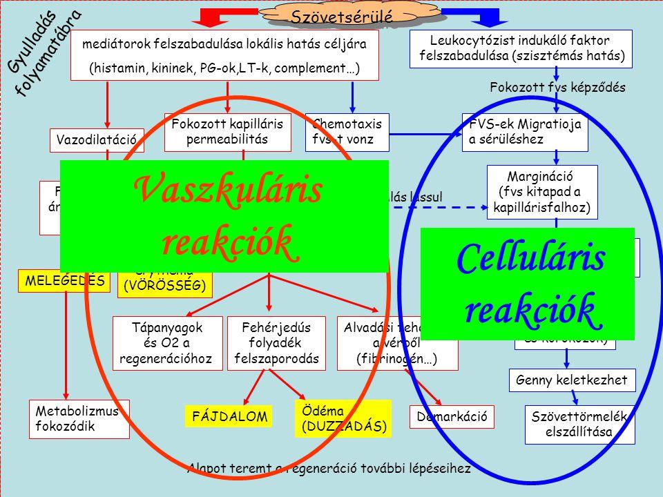 9 Szövetsérülé s Gyulladás folyamatábra mediátorok felszabadulása lokális hatás céljára (histamin, kininek, PG-ok,LT-k, complement…) Leukocytózist ind