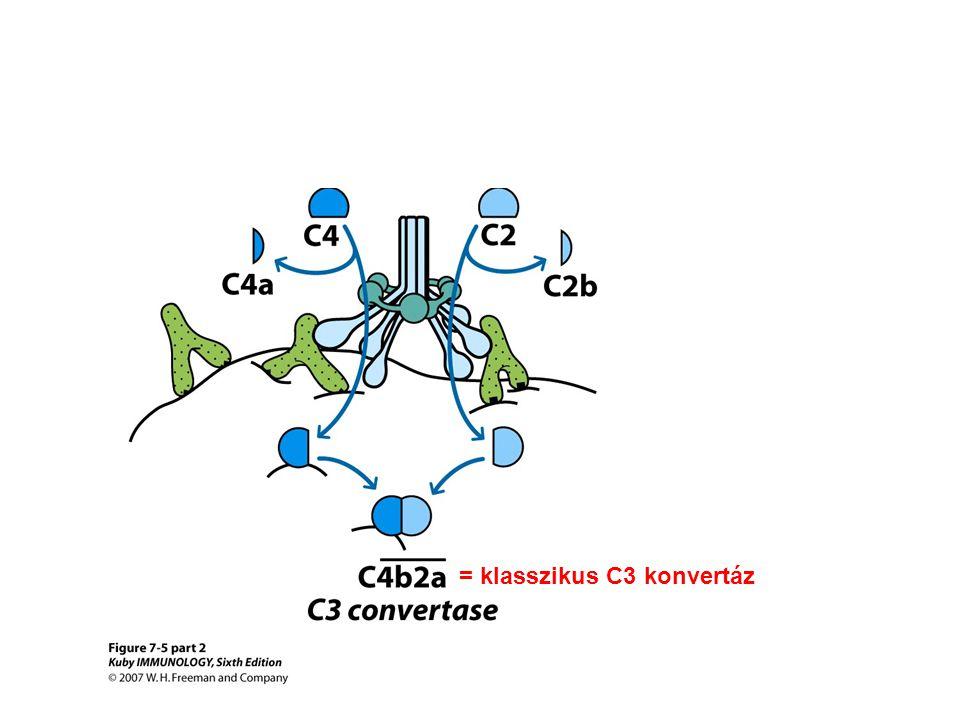 = klasszikus C3 konvertáz