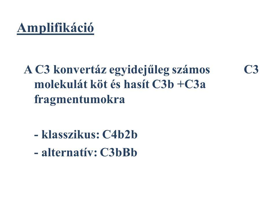 Amplifikáció A C3 konvertáz egyidejűleg számos C3 molekulát köt és hasít C3b +C3a fragmentumokra - klasszikus: C4b2b - alternatív: C3bBb