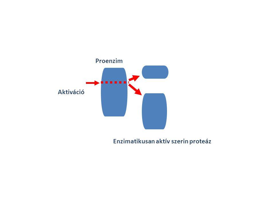 Aktiváció Proenzim Enzimatikusan aktív szerin proteáz