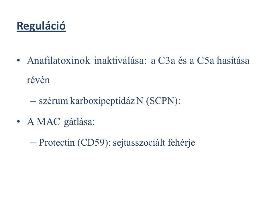 Reguláció Anafilatoxinok inaktiválása: a C3a és a C5a hasítása révén – szérum karboxipeptidáz N (SCPN): A MAC gátlása: – Protectin (CD59): sejtasszoci