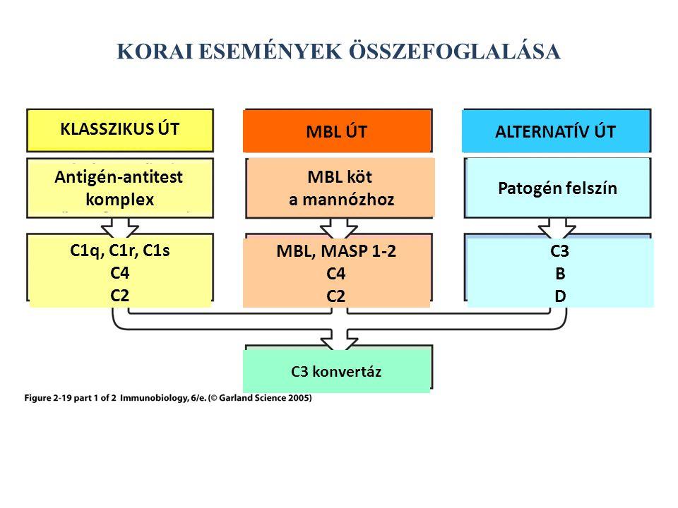 KORAI ESEMÉNYEK ÖSSZEFOGLALÁSA KLASSZIKUS ÚT MBL ÚTALTERNATÍV ÚT Antigén-antitest komplex C1q, C1r, C1s C4 C2 MBL köt a mannózhoz MBL, MASP 1-2 C4 C2