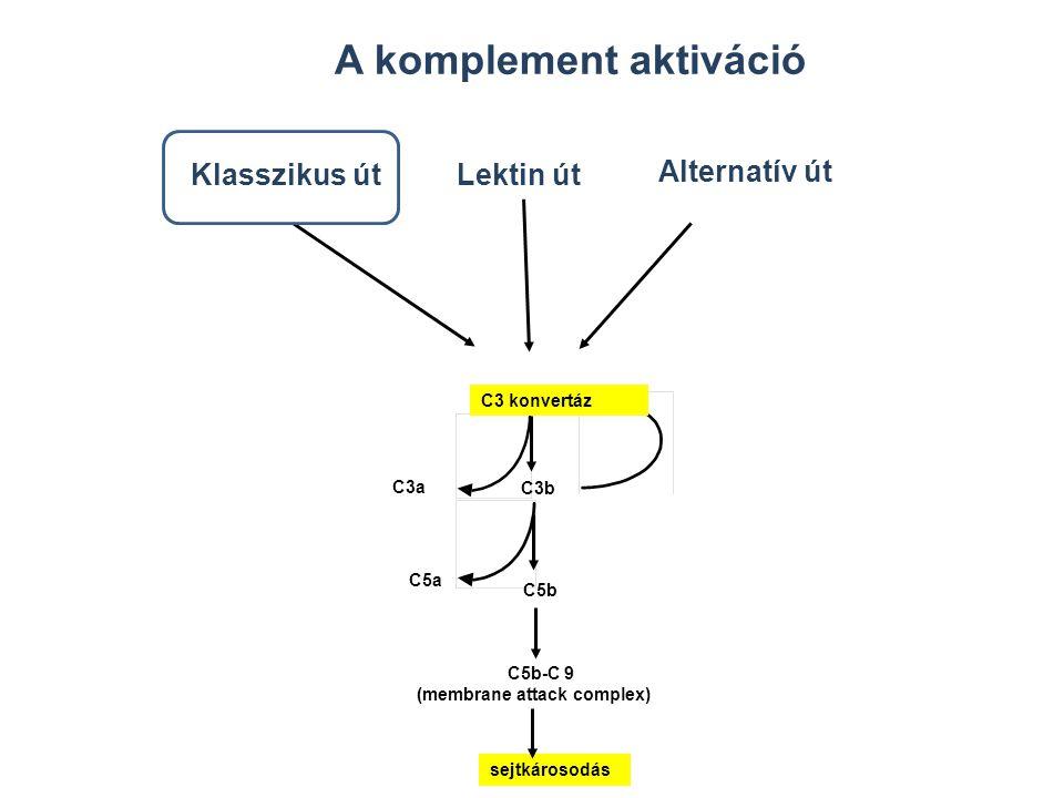 KORAI ESEMÉNYEK ÖSSZEFOGLALÁSA KLASSZIKUS ÚT MBL ÚTALTERNATÍV ÚT Antigén-antitest komplex C1q, C1r, C1s C4 C2 MBL köt a mannózhoz MBL, MASP 1-2 C4 C2 C3 konvertáz Patogén felszín C3 B D