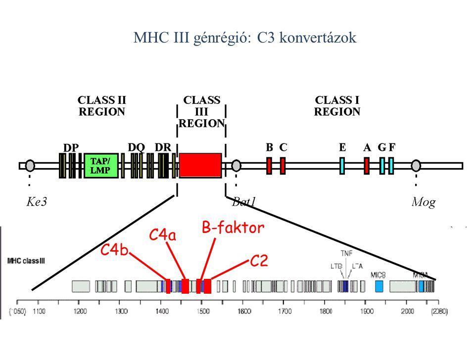 MHC III génrégió: C3 konvertázok C4b C4a C2 B-faktor
