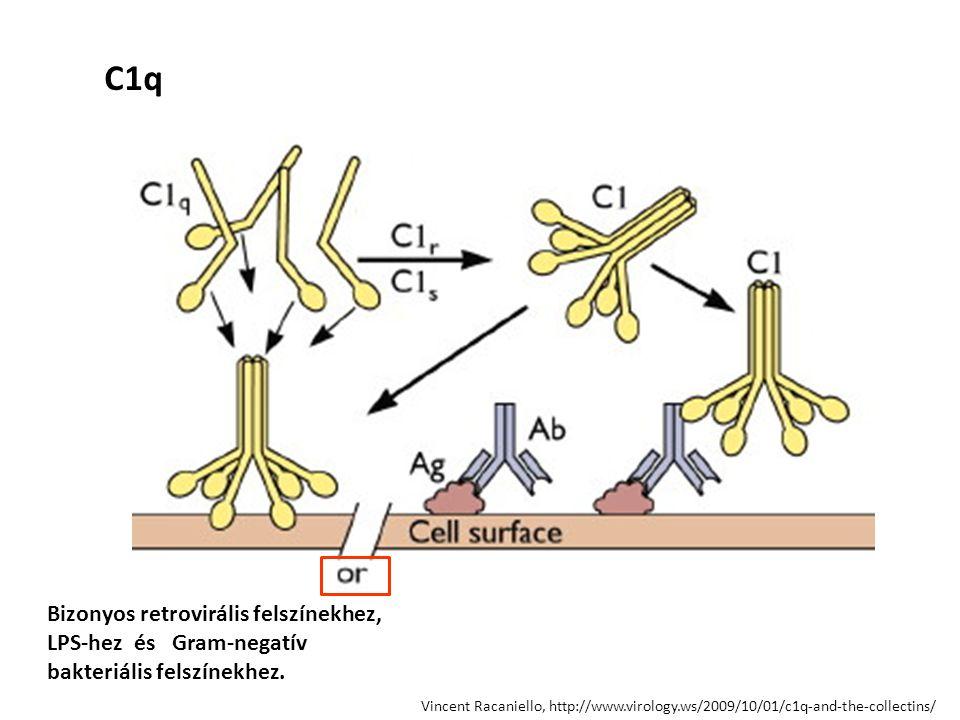 baktérium B C5 C3b C3 C3a Alternatív út