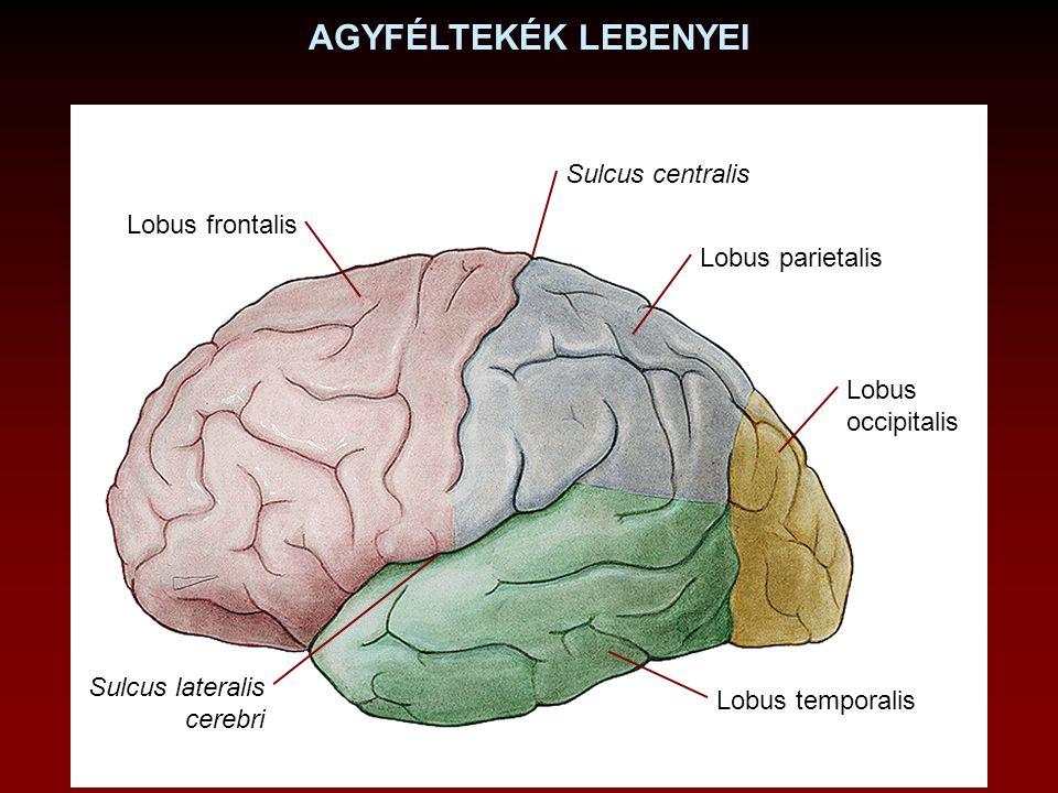 AGYFÉLTEKÉK LEBENYEI Lobus frontalis Lobus parietalis Lobus occipitalis Lobus temporalis Sulcus lateralis cerebri Sulcus centralis