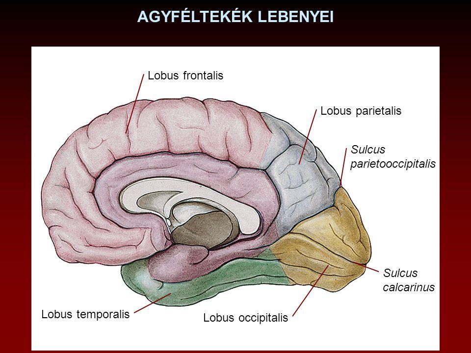 Lobus frontalis Lobus parietalis Lobus occipitalis Lobus temporalis Sulcus calcarinus Sulcus parietooccipitalis AGYFÉLTEKÉK LEBENYEI