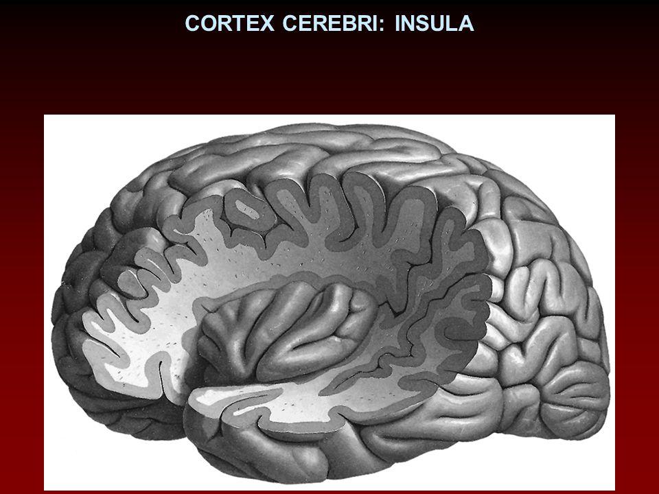 CORTEX CEREBRI: INSULA