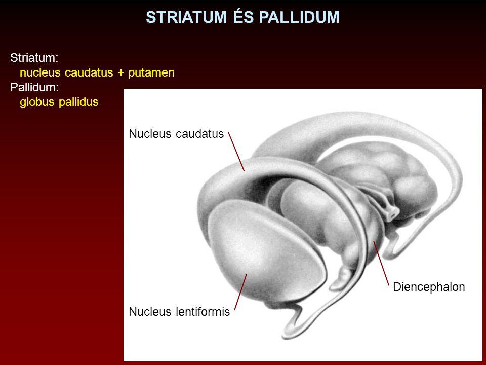 STRIATUM ÉS PALLIDUM Diencephalon Nucleus caudatus Nucleus lentiformis Striatum: nucleus caudatus + putamen Pallidum: globus pallidus