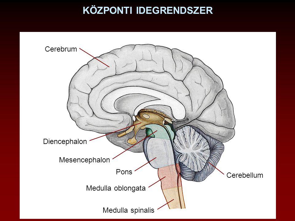 KÖZPONTI IDEGRENDSZER Cerebrum Diencephalon Mesencephalon Pons Medulla oblongata Cerebellum Medulla spinalis