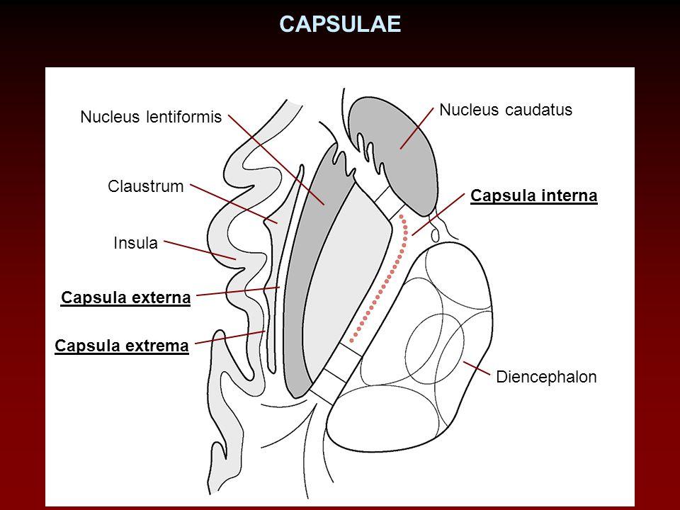 CAPSULAE Diencephalon Nucleus caudatus Nucleus lentiformis Capsula interna Claustrum Insula Capsula externa Capsula extrema