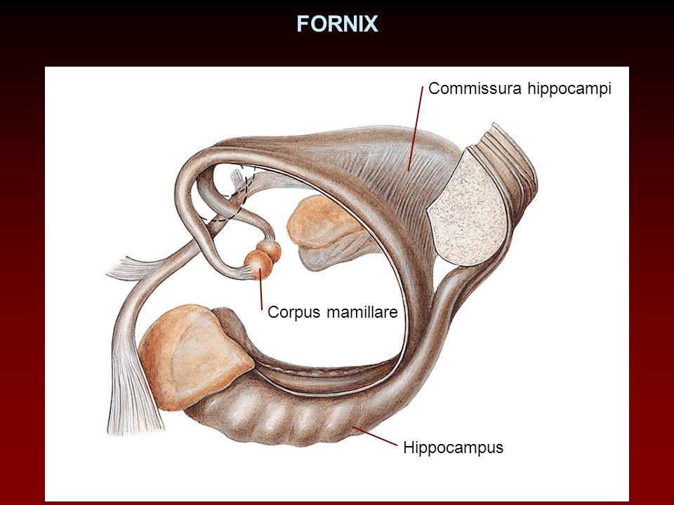 FORNIX Corpus mamillare Hippocampus Commissura hippocampi